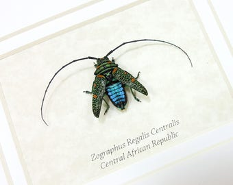 FREE SHIPPING Real Framed Zographus Regalis Centralis Taxidermy Mounted Spread A1