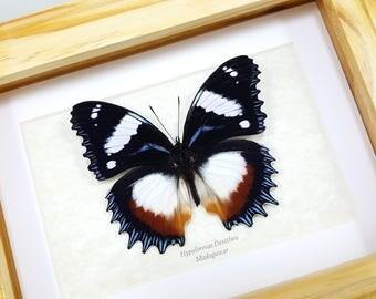 FREE SHIPPING Framed Hypolimnas Dexithea Gladiator Butterfly Madagascar Diadem Taxidermy High Quality A1