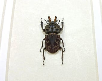 FREE SHIPPING Framed Brown Stag Beetle Ryssonotus Nebulosus Taxidermy A1 #83