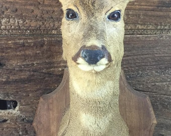 Head of a large female Roe Deer mounted on wooden plaque. Taxidermy.  RDF07