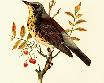1969 Fieldfare Print. Vintage Thrush Bird Print, Ornithology, nature wall art