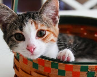 Mia – Caliby - Calico, tabby mix kitten in a basket.  Fine Art Print, Kitten in a basket -  Available as a puzzle, tile, or gallery Cat