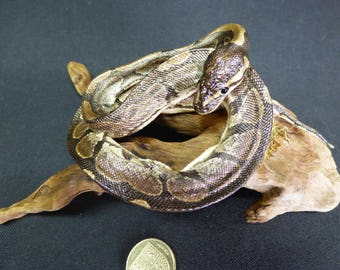 TAXIDERMY Young Python Snake (log no:18) Mounted On Driftwood. Reptile.