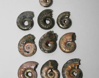 Pyritized AMMONITE Fossil, lot of 10, Russian ammonite