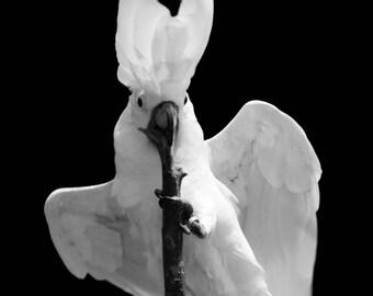 Black & White Cockatoo