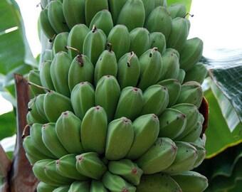 SABA Banana Plant - The Sequoia of Bananas (Very Limited Supply) Musa 'Saba'