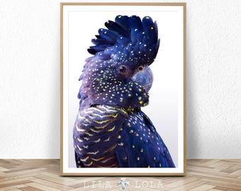 Australian Black Cockatoo Print, Large Wall Art, Printable Poster, Digital Download, Bird Photography, Navy Blue Wall Art Decor, Parrot Bird
