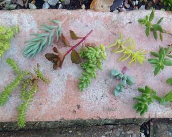 10 x Sedum Alpine Cuttings (All different) Succulents,Sedum fresh cuttings,cut to order