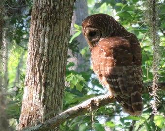 Owl in Swamp print