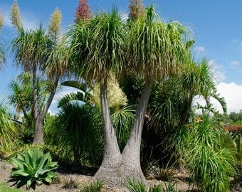 Ponytail palm House Plant - Beaucarnea Recurvata