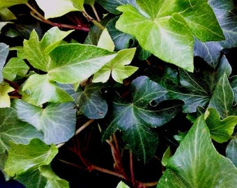 7 small leaf ruffled wavy crested hedera helix green english ivy vines live plant cuttings evergreen