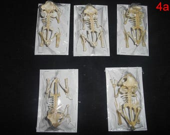 Taxidermy Real frog Skeleton 5 Pcs