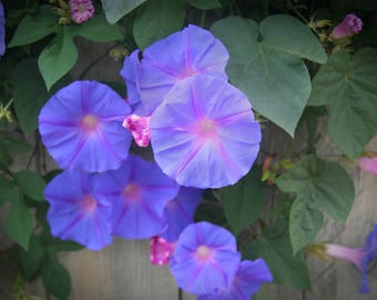 Morning Glories, 5x7 Blue Flower Photo, 8x10 Photo,