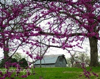 "Barn Photography, Purple Flowers, Country Picture, Farm Artwork, Old Buildings, Farmhouse Decor, Rustic Wall Art, ""Purple Canopy"""