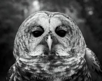 Barred Owl, owl, raptor, bird of prey, photograph, black and white, wall decor, home decor, picture