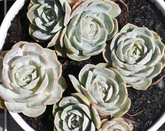 Succulent-Echeveria Elegans 'Blue Wonders'