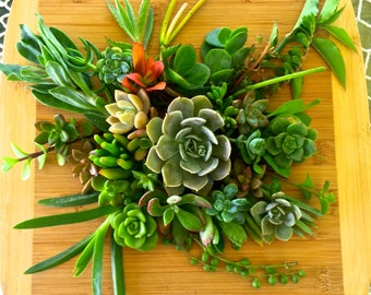 30 Assorted Succulent Cuttings Live Plant Colorful Variety Great for Wedding Favors