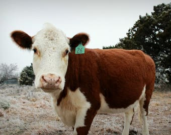 Beautiful Fuzzy Hereford Cow