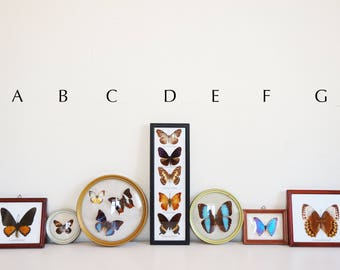 Vintage taxidermy Butterfly frames