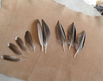 rare set of sarcelline, 10 feathers good quality.