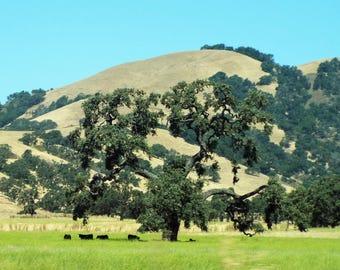 Cows Grazing Under Giant Valley Oak Tree,  Digitally Enhanced 8x10 Photo Print
