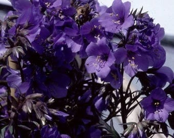 40+ Purple Rain POLEMONIUM JACOB'S LADDER Flower Seeds / Shade Loving Perennial