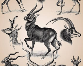 Ernst Haeckel - Antilope - Art Forms of Nature - Reproduction Art Print - Science - Nature