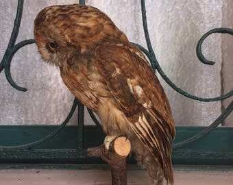 Tawny owl taxidermy - OWL tawny taxidermy naturalized