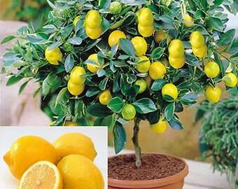 15 Edible Fruit Meyer Lemon Seeds, Exotic Citrus Bonsai Lemon, Tree Fresh Seeds, Lemon Tree, Lemon Seeds, Fruit Tree, Indor Tree Bonsai,