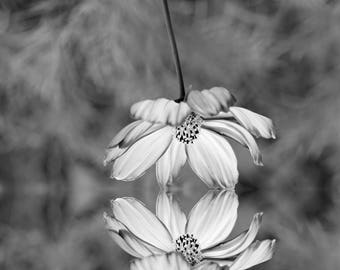 Cosmos reflection, Black and White, Photography, Digital Download, Nature Lover, Screensaver, Printable Art, Wall Art, Farmhouse Decor