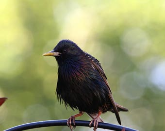 starling in the light