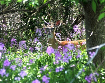 Doe in purple flowers