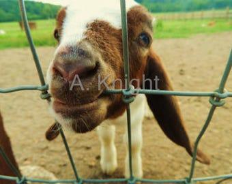 Framed & Matted Goat Photo Print