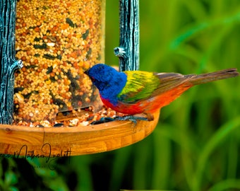 Colorful Painted Bunting Bird on a Bird Feeder Photograph