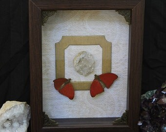 Cymothoe sangaris, red glider butterfly - Shadowbox, Framed Butterfly, Gothic Decor, Butterfly Taxidermy