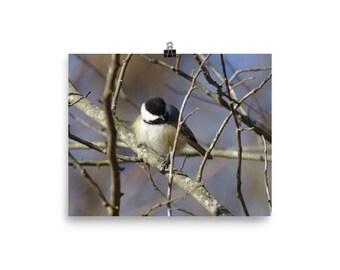 Fluffy Chickadee, Black capped chickadee, Bird wall art, Wildlife print, Bird print,