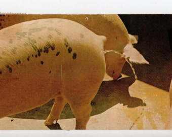 Weirdest Postcard Ever | Pig Pissin' Post Card, Animals, Animal, Pig, Pigs, Bizarre, Weird, Oddity, Strange, Unusual | Paper Ephemera |