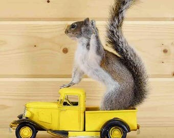 Squirrel Driving Yellow Vintage Truck - SW4652 - Novelty Taxidermy Sales