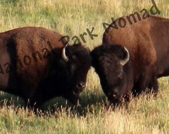 Clash of the Titans, Yellowstone National Park, Wild Bison Fights, Digital Photograph, Home Decor