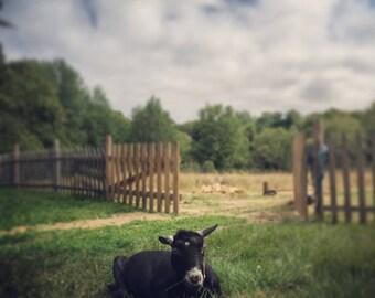 Old goat at rest