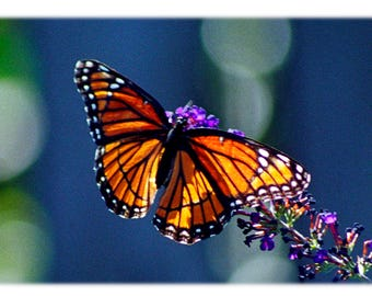 Viceroy Butterfly on Blue, Nature Photography - Garden Home Decor Fine Art Print or Note Card Set