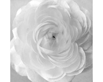 White Ranunculus  Photograph, Wedding Decor, White Wall Art, Flower Decor, Elegant Flower Photography