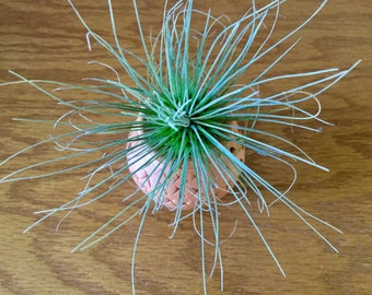 Tillandsia Fuchsii v. Gracilis White Flowering Ait Plant In A Clay Pot, 6 Inches