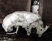 SUMMER SALE Skulls, small animal, taxidermy, Halloween, library, shabby decor, Industrial decor,