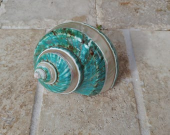 Turbo Shell -  Jade Turbo Shell - Natural Turbo - Polished Jade Seashell - Polished Jade Turbo - Pearlized Shell - No. 201