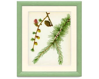 European larch etsy vintage tree print european larch botanical book plate 37 ornamental nature sciox Image collections
