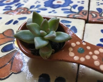 Succulents in Mexican Pottery.
