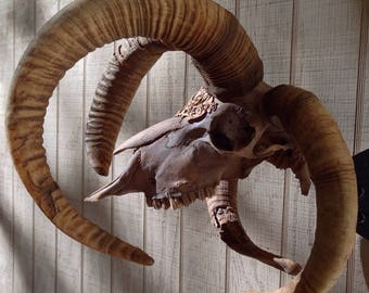 Osteo La Brea Natural Stained Big 4-Horned Navajo Churro Sheep Ram Skull with Vintage Brass Filigree Accent