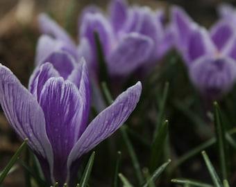 Purple Crocuses Fine Art Photo