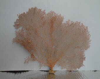 "13.5"" x 9"" Pacifigorgia Red  Sea Fan Seashells Reef Coral"
